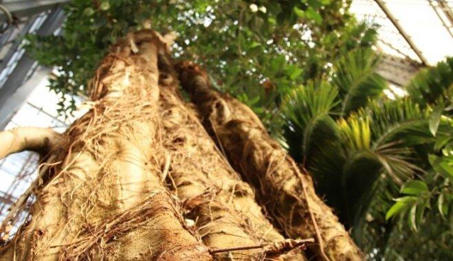 Karu pārdzīvojušie augi un pārmaiņu gaidas – LU Botāniskā dārza augu mājām 90