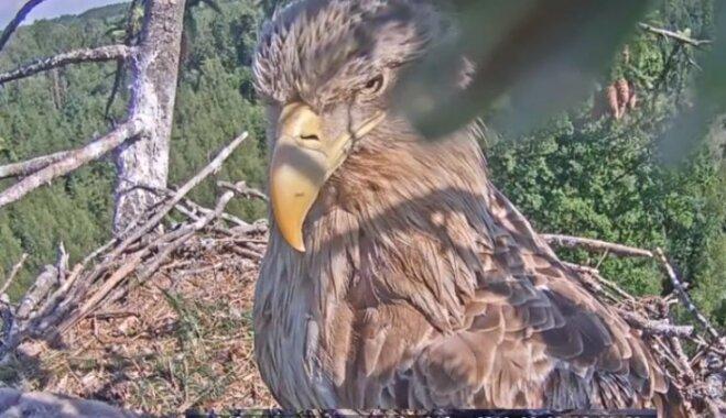 Dzīve kā seriālā – tiešraidēs var vērot aizraujošāko posmu putnu ikdienā