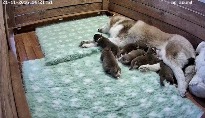 ВИДЕО: В России запустили трансляцию о жизни новорожденных щенков хаски