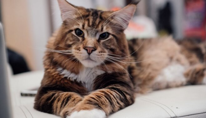 Rīgā notiks kaķu izstāde, kurā varēs sastapt maigos milžus meinkūnus