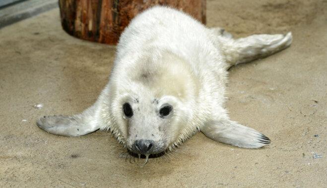 Zoodārzā nogādāti divi novājināti ronēni no Saulkrastu apkaimes