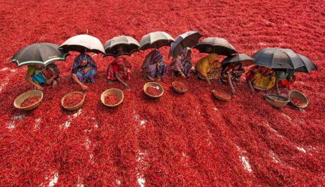 ФОТО. Необычный вид: как в Бангладеш выращивают перец чили