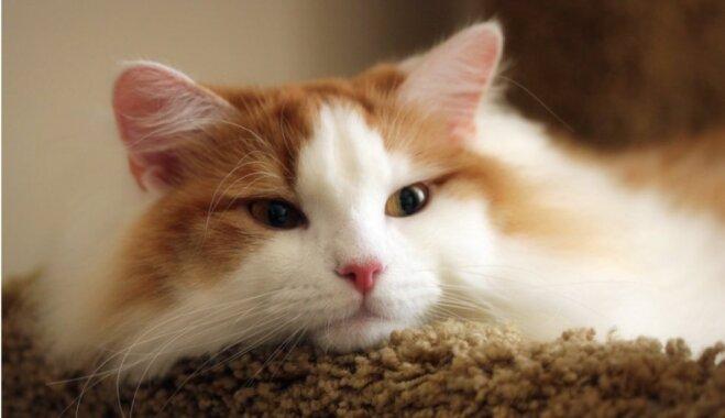 Pazīmes, kas liecina – sašķobījusies kaķa veselība