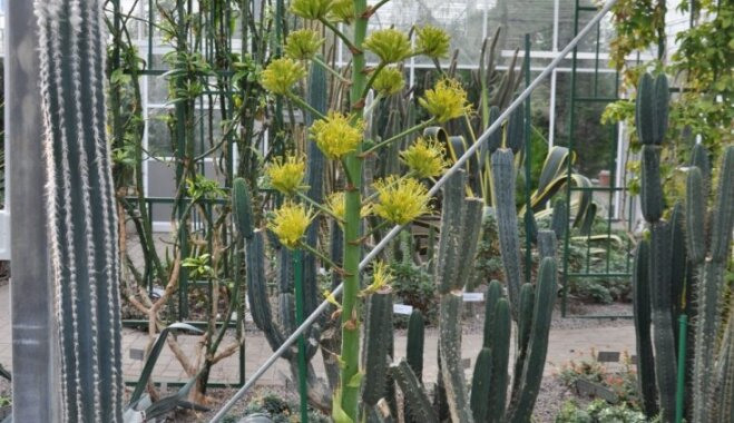 Salaspils botāniskajā dārzā īpašs notikums – uzziedējusi zarainā agave