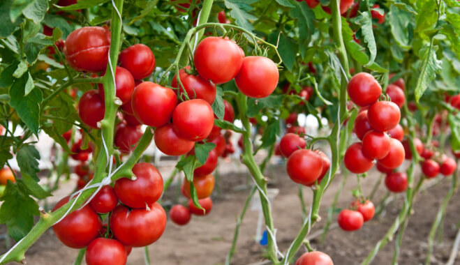 Пять причин скручивания листьев у помидоров