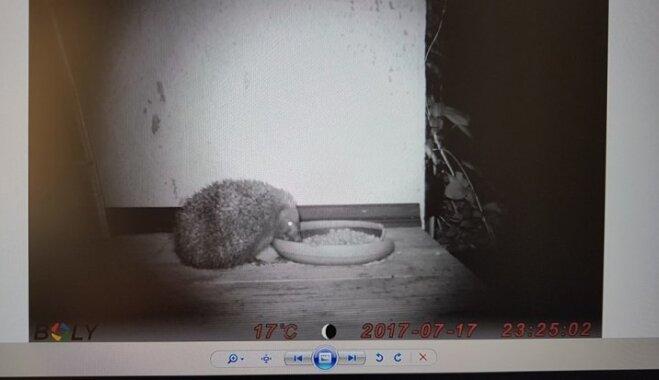 Fotogrāfs Sokolovs slepus nofilmē, kas pie viņa mājas izēd barības trauciņu