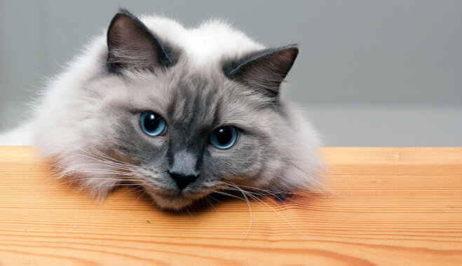 Kaķu šķirne: regdols