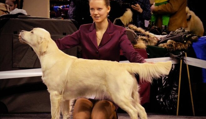 Patriotiskākais suns Latvijā – zeltainā Greisa, kas ķepas došanu uzskata par muļķīgu padarīšanu