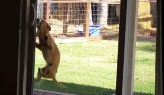 Video: Neatlaidīgs suns amizantā veidā atver bīdāmās durvis
