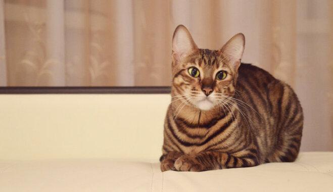 Četras eksotiska izskata kaķu šķirnes jeb Piemīlīgie mini 'tīģerīši' un 'leopardi'
