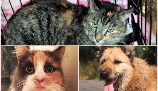 Mājas meklē 'baznīcas kaķēns', ko atrada krūmā, un citi četrkājainie 'pabērni'