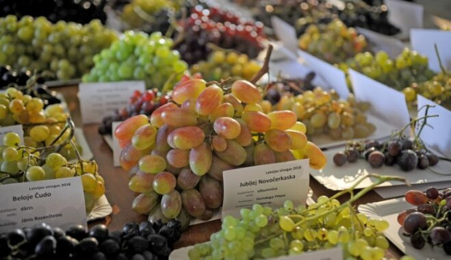 Foto: Vairāk nekā 100 šķirņu vienkopus – sulīgo Latvijas vīnogu izstāde