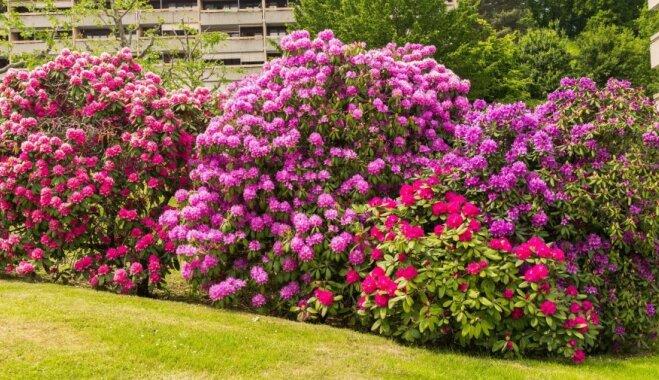 Košumkrūmu meklējumos: trīs vissmaržīgāko rododendru sugas