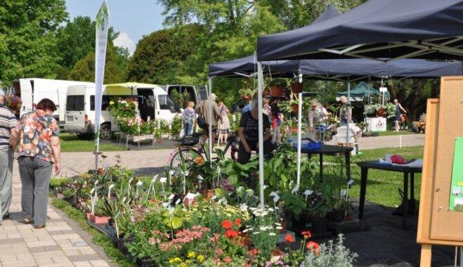 No telpaugiem līdz vasaras puķēm – fotoieskats Salaspils stādu tirdziņā