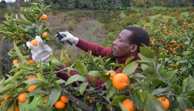 Foto: Abhāzijā novāc gardos svētku vēstnešus – mandarīnus