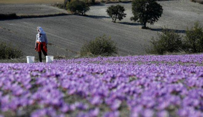 Foto: Kā Grieķijā novāc krokusu radiniekus – safrāna ziediņus