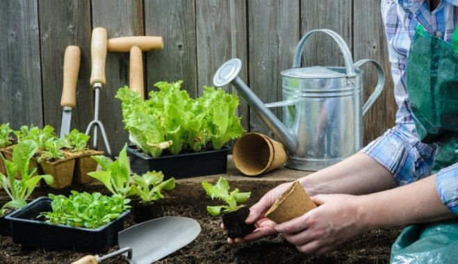 Kraukšķīgo salātu sējas laiks – kā izaudzēt brangu pirmo pavasara ražu