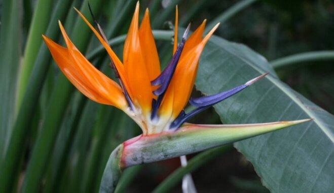 Foto: LU Botāniskajā dārzā zied krāšņie paradīzes putni – karaliskās strelīcijas