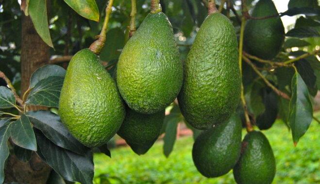 ФОТО. С морозом и засухой не по пути. Как и где растет вкусное, полезное и немного опасное авокадо?