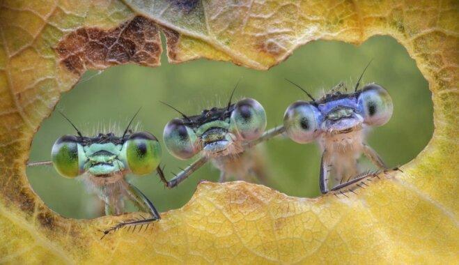 Foto: Trīs draudzīgas spārītes lūkojas cauri lapai