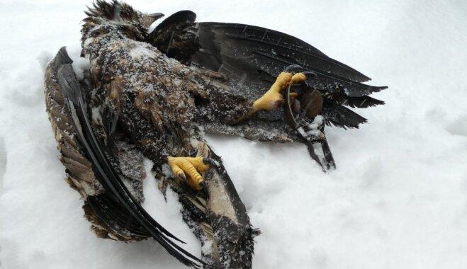 Iesprūstot malumednieku izliktā slazdā, bojā gājis jauns jūras ērglis