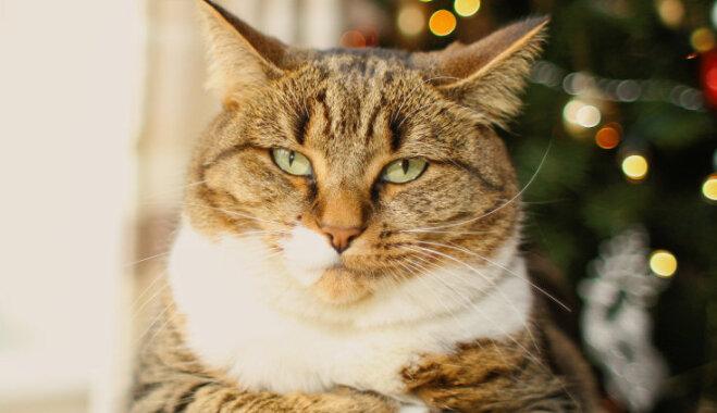 Kurš svētku rotājums kaķim ir visbīstamākais?