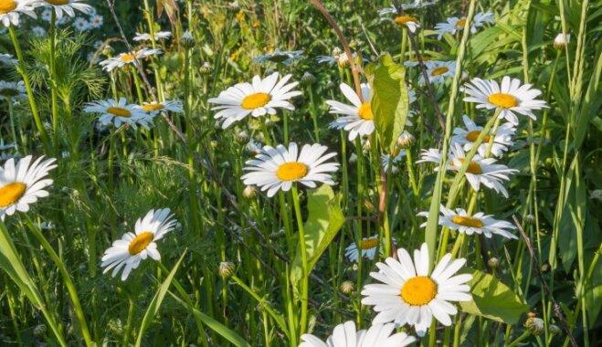 Iedvesmojoši foto ar pļavas puķu kompozīcijām vasaras saulgriežos