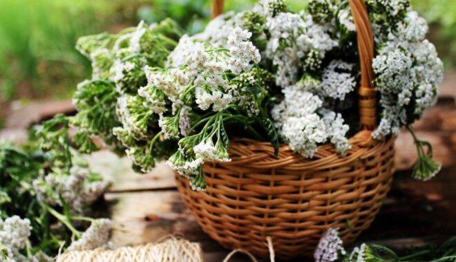 Kādus ārstniecības augus vēl šovasar var paspēt savākt? Artūra Tereško ieteikumi