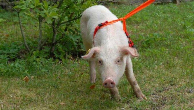 Счастливая судьба: свинья Лига стала мамой
