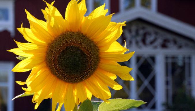 Dzīvespriecīgākās puķes, kas seko saules virzienam