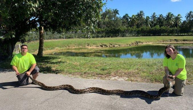 Foto: Floridā notverts iespaidīga izmēra pitons