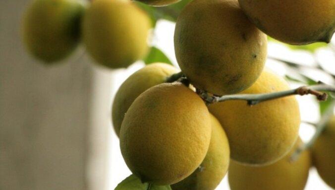 Speciālistes knifiņi, kā mājās izaudzēt pašam savu citronkoku