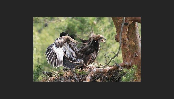 Klinšu ērgļi gatavojas ligzdošanai