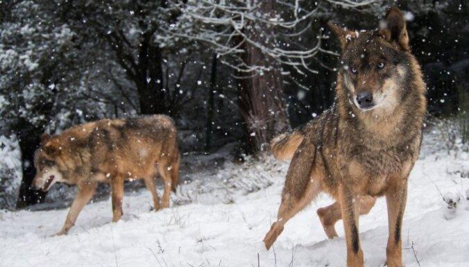 Igaunijā vilku bars nogalinājis medību suni