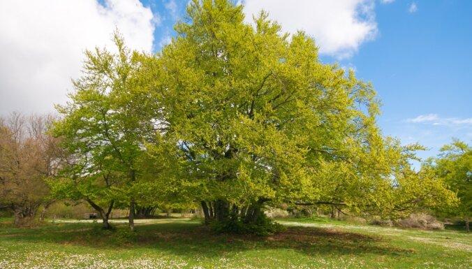 Par 2020. gada koku izvēlēts Eiropas dižskābardis