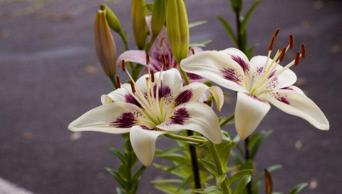 Dievinātās jūlija karalienes: īsa pamācība liliju kopšanā