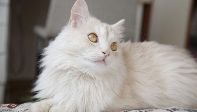 Топ-9 кошачьих пород, представители которых ведут себя как собаки