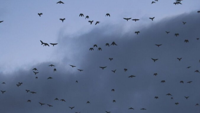 ФОТО: Жителей Елгавы разбудила огромная стая грачей