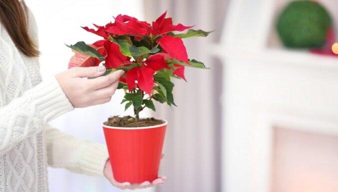 Košā Ziemassvētku zvaigzne – puansetijas audzēšanas knifi un kļūdas kopšanā