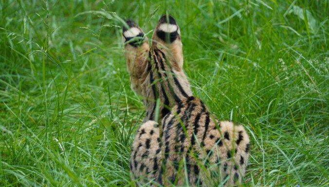 Rīgas zoo jauni iemītnieki – savvaļas kaķi ar vislielākajām ausīm un garākajām kājām