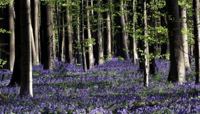 Krāšņa ziedu jūra: Beļģijā uzplaucis zilo pulkstenīšu mežs