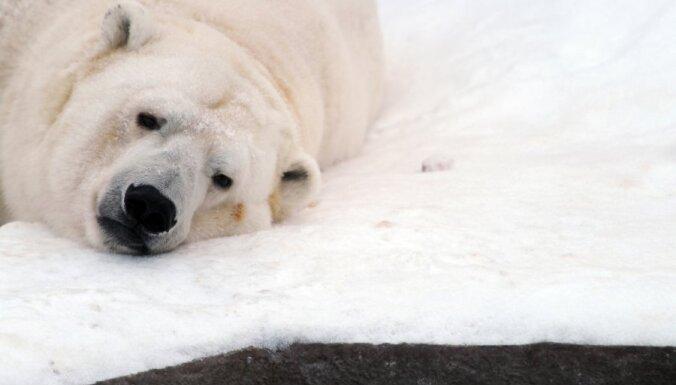 Экологи США: через 10 лет в России полностью вымрут белые медведи