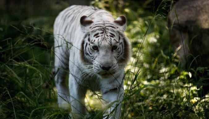 Jauna metode sola pamatīgi palielināt iespējas savvaļā uziet aizsargājamu sugu dzīvniekus