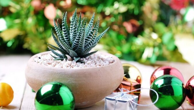 Каланхоэ, сингониум и другие комнатные растения, способные приносить в дом несчастья