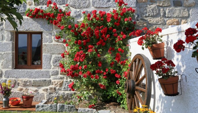 Skaistākās Liepājas rozes ziedēs Liepājas Latviešu biedrības namā