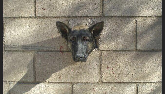 ASV izglābj sienā iestrēgušu suni