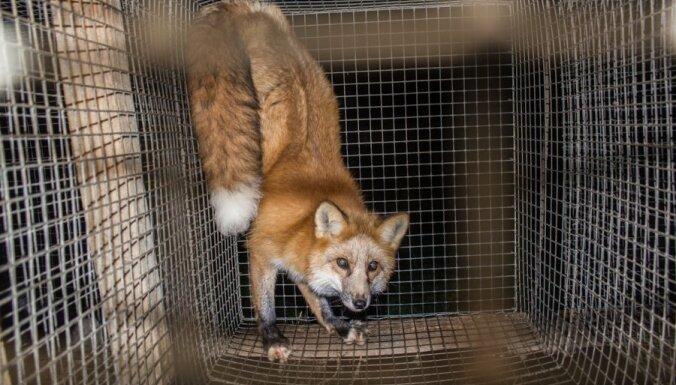 Raidījums: dzīvnieku aizstāvji atklāj pārkāpumus kažokzvēru fermās (foto)