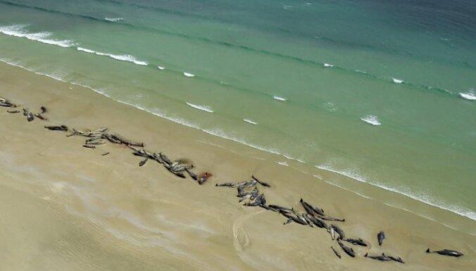 Jaunzēlandes krastā nedēļas laikā bojā gājušas vairāk nekā 200 grindas