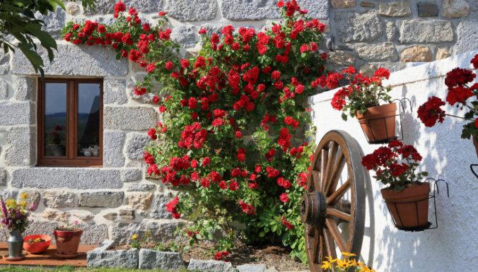 Jaunās dārza karalienes: iepazīsti vairāk nekā 20 izcilas rožu šķirnes