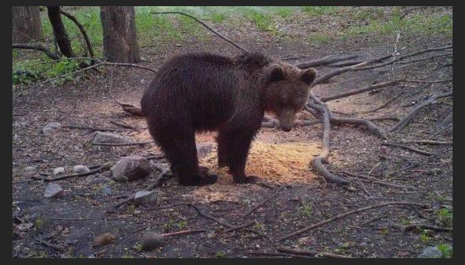 ФОТО: Медведь повадился ходить к звериной кормушке за тортами